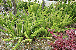 Foxtail Fern (Asparagus meyeri) at Fernwood Garden Center