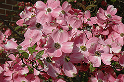 Cherokee Brave Flowering Dogwood (Cornus florida 'Cherokee Brave') at Fernwood Garden Center