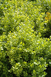 Dwarf English Boxwood (Buxus sempervirens 'Suffruticosa') at Fernwood Garden Center