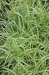 Silver Sceptre Variegated Japanese Sedge (Carex morrowii 'Silver Sceptre') at Fernwood Garden Center