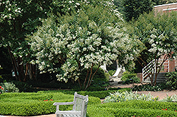 Natchez Crapemyrtle (Lagerstroemia 'Natchez') at Fernwood Garden Center