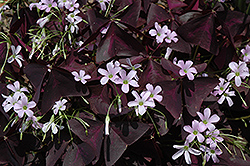 Purple Shamrock (Oxalis regnellii 'Triangularis') at Fernwood Garden Center