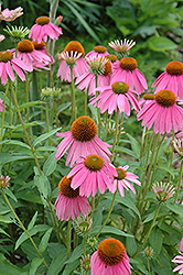 Kim's Knee High Coneflower (Echinacea 'Kim's Knee High') at Fernwood Garden Center