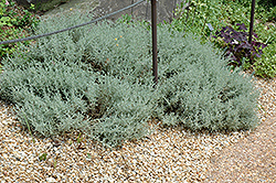 Dwarf Cotton Lavender (Santolina incana 'Nana') at Fernwood Garden Center