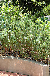 Spice Islands Rosemary (Rosmarinus officinalis 'Spice Islands') at Fernwood Garden Center