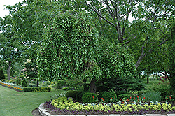 Weeping Mulberry (Morus alba 'Pendula') at Fernwood Garden Center