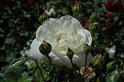 White Dawn Rose (Rosa 'White Dawn') at Fernwood Garden Center