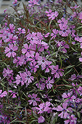 Purple Beauty Moss Phlox (Phlox subulata 'Purple Beauty') at Fernwood Garden Center
