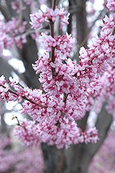 Eastern Redbud (Cercis canadensis) at Fernwood Garden Center
