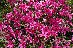 Scarlet Flame Moss Phlox (Phlox subulata 'Scarlet Flame') at Fernwood Garden Center