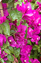 Purple Queen® Bougainvillea (Bougainvillea 'Moneth') at Fernwood Garden Center