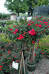 Knock Out® Rose Tree (Rosa 'Radrazz') at Fernwood Garden Center