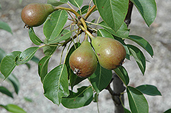 Moonglow Pear (Pyrus communis 'Moonglow') at Fernwood Garden Center