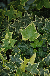 Gold Child Ivy (Hedera helix 'Gold Child') at Fernwood Garden Center
