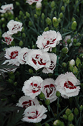 Scent First® Coconut Surprise Pinks (Dianthus 'WP05Yves') at Fernwood Garden Center