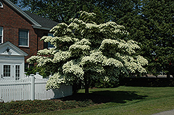 Chinese Dogwood (Cornus kousa) at Fernwood Garden Center
