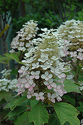 Alice Hydrangea (Hydrangea quercifolia 'Alice') at Fernwood Garden Center