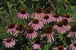 Purple Coneflower (Echinacea purpurea) at Fernwood Garden Center
