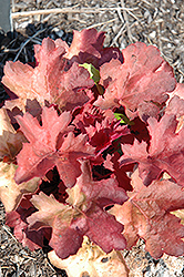 Cherry Cola Coral Bells (Heuchera 'Cherry Cola') at Fernwood Garden Center