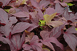 Sweet Caroline Red Sweet Potato Vine (Ipomoea batatas 'Sweet Caroline Red') at Fernwood Garden Center