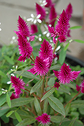 Intenz Celosia (Celosia 'Intenz') at Fernwood Garden Center