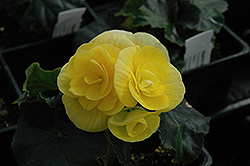 Blitz Begonia (Begonia 'Blitz') at Fernwood Garden Center