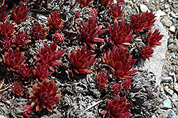 Royal Ruby Hens And Chicks (Sempervivum 'Royal Ruby') at Fernwood Garden Center