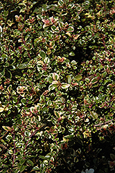 Variegated Broadleaf Thyme (Thymus pulegioides 'Foxley') at Fernwood Garden Center