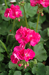 Patriot Rose Pink Geranium (Pelargonium 'Patriot Rose Pink') at Fernwood Garden Center