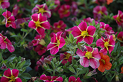 Superbells® Cherry Star Calibrachoa (Calibrachoa 'Superbells Cherry Star') at Fernwood Garden Center