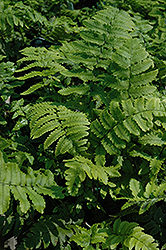 Shaggy Shield Fern (Dryopteris cycadina) at Fernwood Garden Center