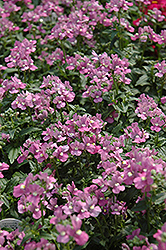 Compact Pink Innocence Nemesia (Nemesia 'Compact Pink Innocence') at Fernwood Garden Center