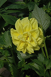 Figaro™ Yellow Dahlia (Dahlia 'Figaro Yellow') at Fernwood Garden Center