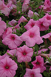 Supertunia® Cotton Candy Petunia (Petunia 'Supertunia Cotton Candy') at Fernwood Garden Center