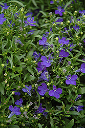 Riviera Midnight Blue Lobelia (Lobelia erinus 'Riviera Midnight Blue') at Fernwood Garden Center