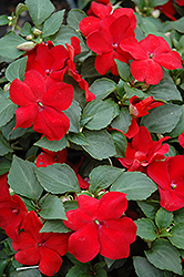 Super Elfin® Red Impatiens (Impatiens walleriana 'Super Elfin Red') at Fernwood Garden Center
