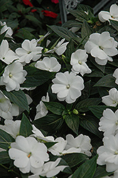 Super Sonic White New Guinea Impatiens (Impatiens hawkeri 'Super Sonic White') at Fernwood Garden Center