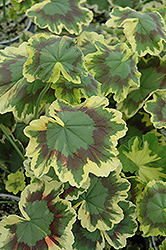 Tricolor Geranium (Pelargonium 'Tricolor') at Fernwood Garden Center