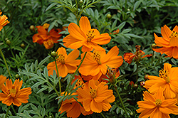 Cosmic Orange Cosmos (Cosmos 'Cosmic Orange') at Fernwood Garden Center