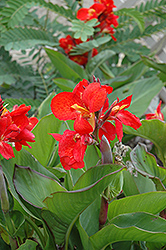 Tropical Red Canna (Canna 'Tropical Red') at Fernwood Garden Center