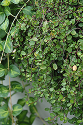 Creeping Wire Vine (Muehlenbeckia axillaris) at Fernwood Garden Center