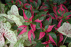 Party Time Alternanthera (Alternanthera ficoidea 'Party Time') at Fernwood Garden Center
