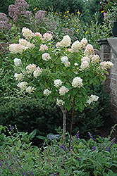 Limelight Hydrangea (tree form) (Hydrangea paniculata 'Limelight (tree form)') at Fernwood Garden Center