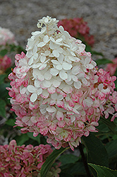 Vanilla Strawberry™ Hydrangea (Hydrangea paniculata 'Renhy') at Fernwood Garden Center