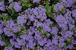 Aloha Blue Flossflower (Ageratum 'Aloha Blue') at Fernwood Garden Center