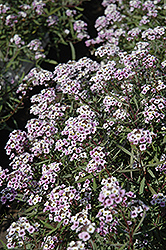 Blushing Princess Sweet Alyssum (Lobularia 'Blushing Princess') at Fernwood Garden Center