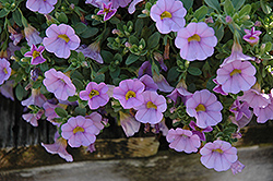 Superbells® Miss Lilac Calibrachoa (Calibrachoa 'Superbells Miss Lilac') at Fernwood Garden Center