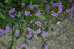 New Wonder Fan Flower (Scaevola aemula 'New Wonder') at Fernwood Garden Center