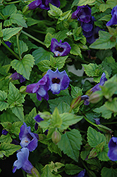 Summer Wave® Blue Torenia (Torenia 'Summer Wave Blue') at Fernwood Garden Center
