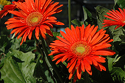 Funtastic Fire Orange Gerbera Daisy (Gerbera 'Funtastic Fire Orange') at Fernwood Garden Center